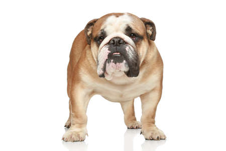 bull dog: English bulldog on white background. Front view
