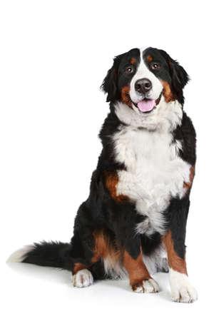Berner Sennenhund sitzt auf weißem Hintergrund