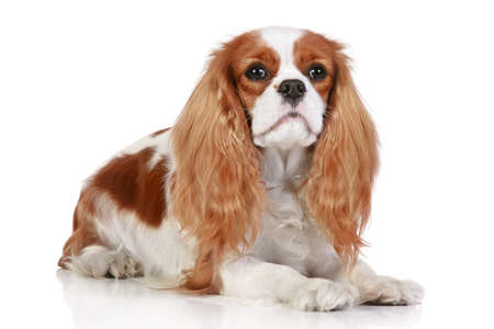 cavalier: Cavalier king charles spaniel lying on a white background Stock Photo