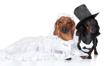 Modische Dachshund Hochzeit auf einem weißen Hintergrund