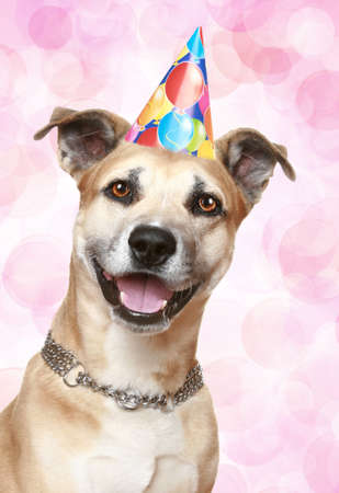 Staffordshire terrier puppy in party cone on pink background photo
