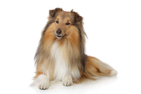 miniature collie: Shetland sheepdog. Sheltie lying on a white background