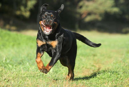 Purebred Rottweiler running on green lawn Stock Photo
