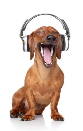 Brown Dackel hören Musik im Kopfhörer Standard-Bild - 24013992
