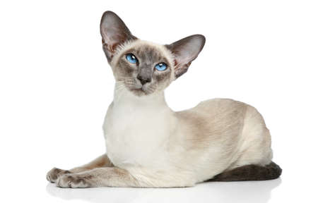 oriental white cat: Oriental Blue-point siamese cat posing on a white background