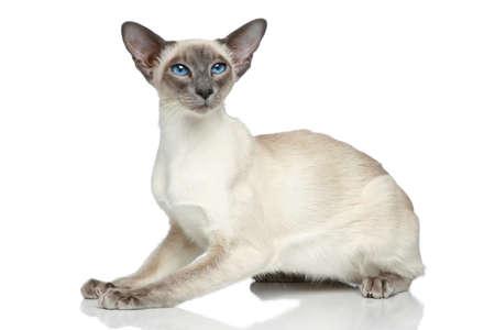 白い背景の上に座って東洋のブルー ポイントのシャム猫 写真素材