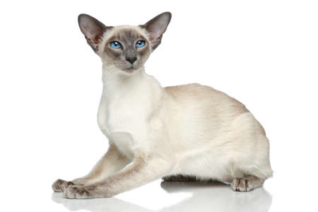 siamese: Oriental Blue-point siamese cat sitting on a white background