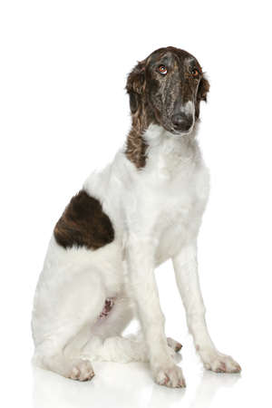Sad Russian Borzoi puppy (5 months) sits on a white background photo