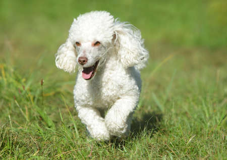 poodle: White toy poodle running in grass Stock Photo