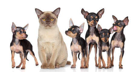 toy terrier: Burma cat with group toy-terriers dogs on white background
