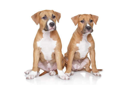 bull terrier: Staffordshire Terrier puppies sits on a white background