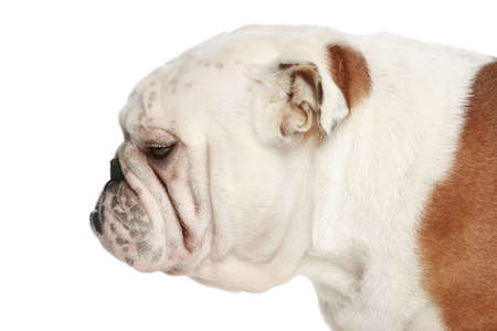 bull dog: English bulldog on white background. Side view