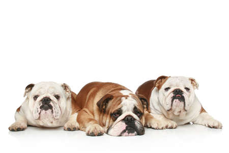 english language: Three English Bulldogs lying on a white background