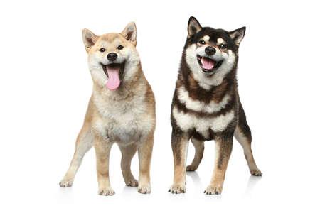 Zwei Shiba Inu Hunde (hell-und dunkelbraun) auf einem weißen Hintergrund