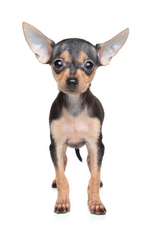 toy terrier: Russian Toy Terrier puppy on white background. Shallow DOF Stock Photo