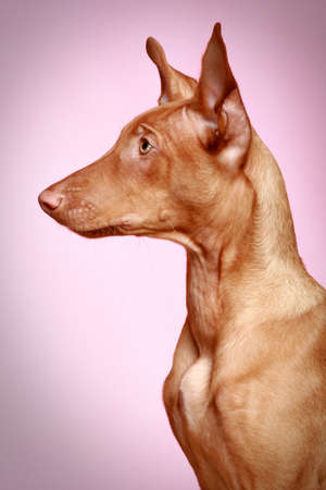 Pharaoh hound puppy. Side view photo