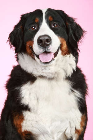 berner: Bernese mountain dog. Portrait on pink background
