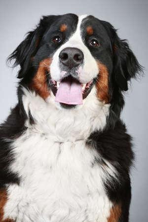 bernese dog: Bernese mountain dog. Portrait on grey background