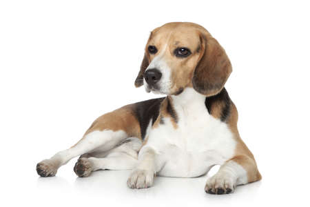 Beagle dog in studio, lying on white background photo