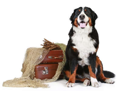 sennen: Bernese mountain dog with vintage suitcases sits on a white background Stock Photo