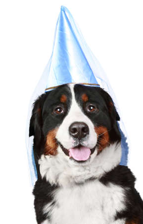 berner: Bernese mountain dog in party cone. Isolated on white background