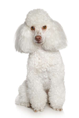 groomed: Toy poodle on a white background