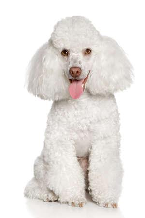 Perrito del caniche de juguete que presenta en un fondo blanco Foto de archivo