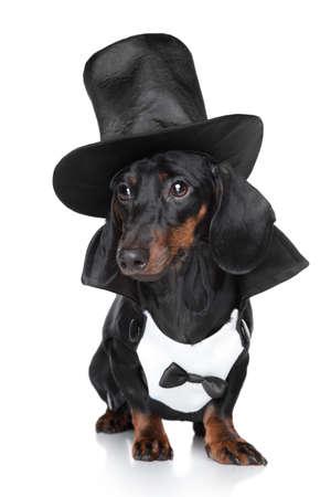 miniature breed: Dachshund miniatura en el sombrero negro sobre fondo blanco