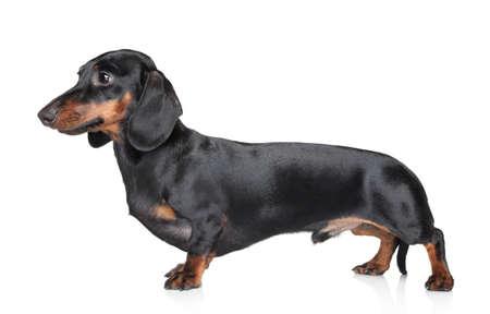 dachshund: Black-brown Dachshund on white background