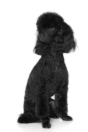 miniature breed: Caniche negro miniatura se sienta en el fondo blanco Foto de archivo