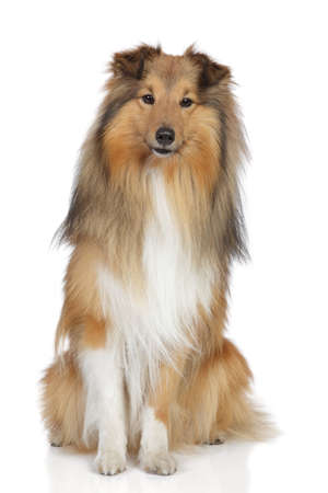 miniature collie: Shetland sheepdog  Sheltie sits on a white background Stock Photo