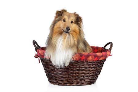 miniature collie: Shetland sheepdog, sheltie in wattled basket on a white background Stock Photo