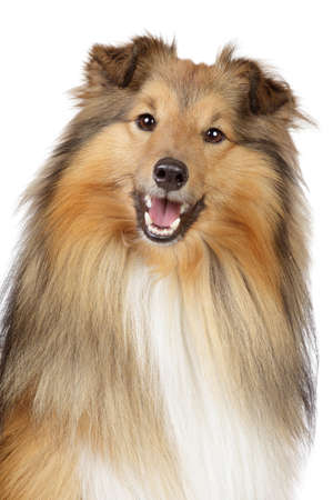 miniature collie: Shetland sheepdog, sheltie  Close-up portrait on a white background Stock Photo