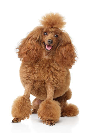 groomed: Groomed toy poodle puppy sits on white background