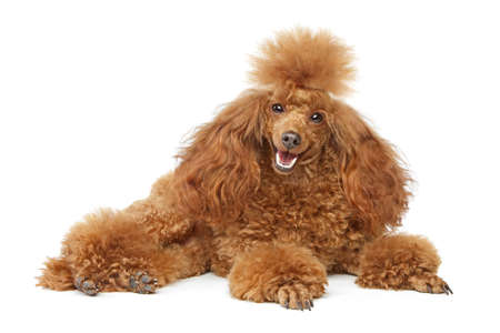 miniature breed: Caniche de juguete que descansa sobre el fondo blanco