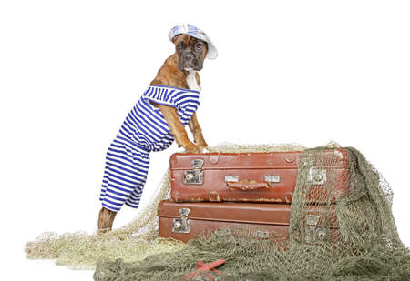 perro boxer: Perrito del boxeador con trastos en un fondo blanco