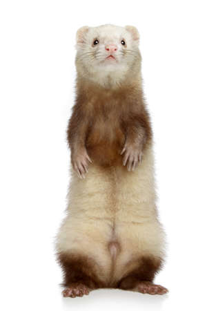 male animal: Ferret stands on its hind legs on a white background
