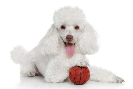 Caniche de juguete con la bola en un fondo blanco