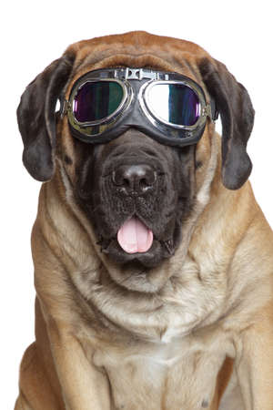 English Mastiff dog in Vintage Motorcycle Goggles. Portrait on a white background Stock Photo - 24014472
