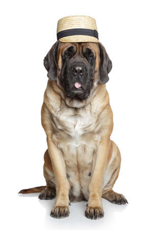 English Mastiff dog in hat on white background Stock Photo - 24014476