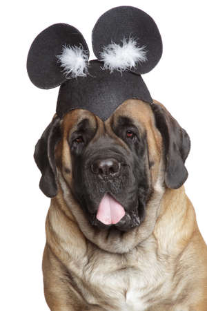 English Mastiff dog in a funny hat with ears Stock Photo - 24014477