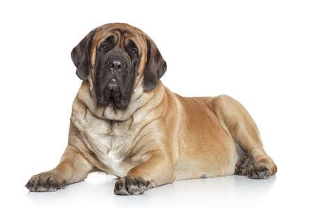 Engels Mastiff liggend op een witte achtergrond Stockfoto