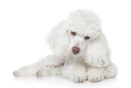 miniature breed: Blanco Caniche de juguete mentir sobre fondo blanco