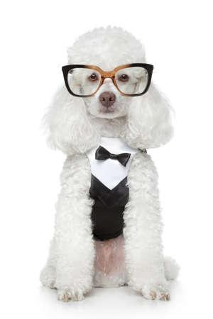 흰색 배경에 턱시도와 안경에 재미 토이 푸들