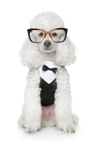 poodle: Funny Toy Poodle in a tuxedo and glasses on a white background