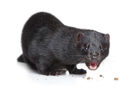 Black American Nerz essen Hundefutter auf weißem Hintergrund