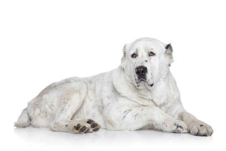 alabai: Central Asian Shepherd Dog on a white background