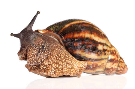 land shell: Giant African land snail Achatina posing on a white background