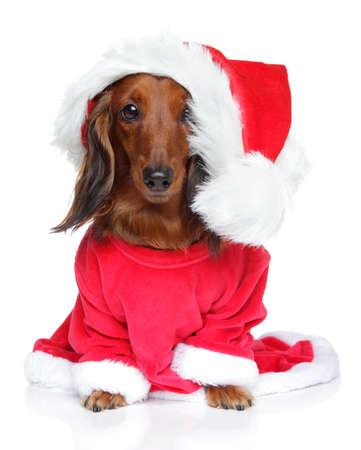 dachshund: Dachshund in Santa clothing on a white background