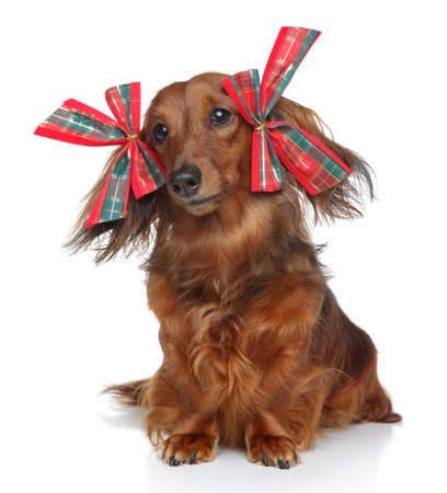 Funny brown longhaired Dachshund with red bows on a white background  photo